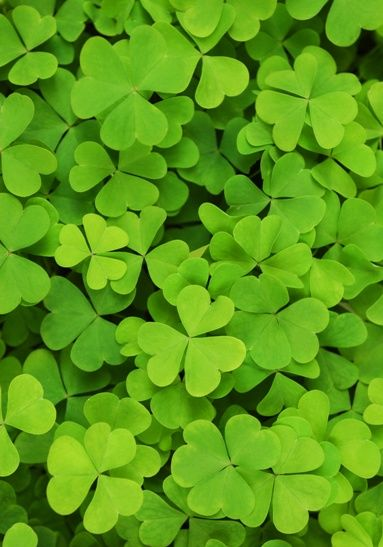 irish patriotic background of green shamrocks