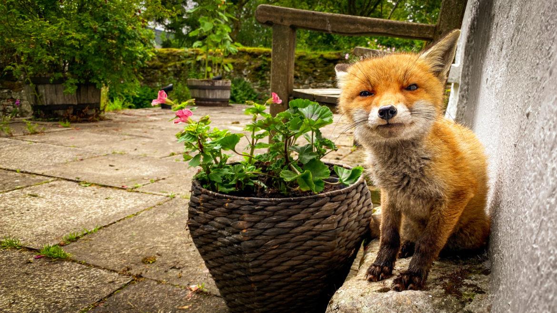 Finbarr the fox